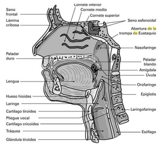 Disyunción Palatina y sus efectos en las vías aéreas superiores